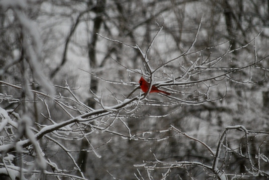 However, the cardinal has been here all winter.  A story of our backyard is not complete without a picture of him!