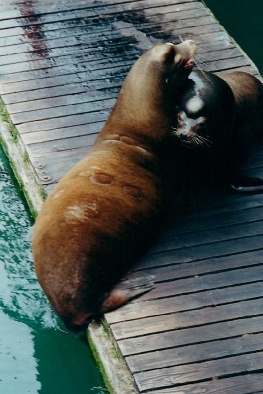walrus (2)