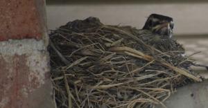 baby robin 005