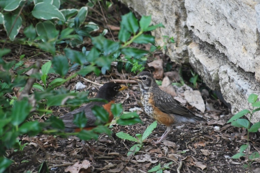 baby robins 001