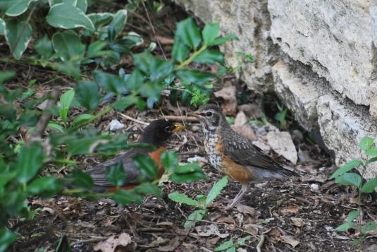 baby robins 001